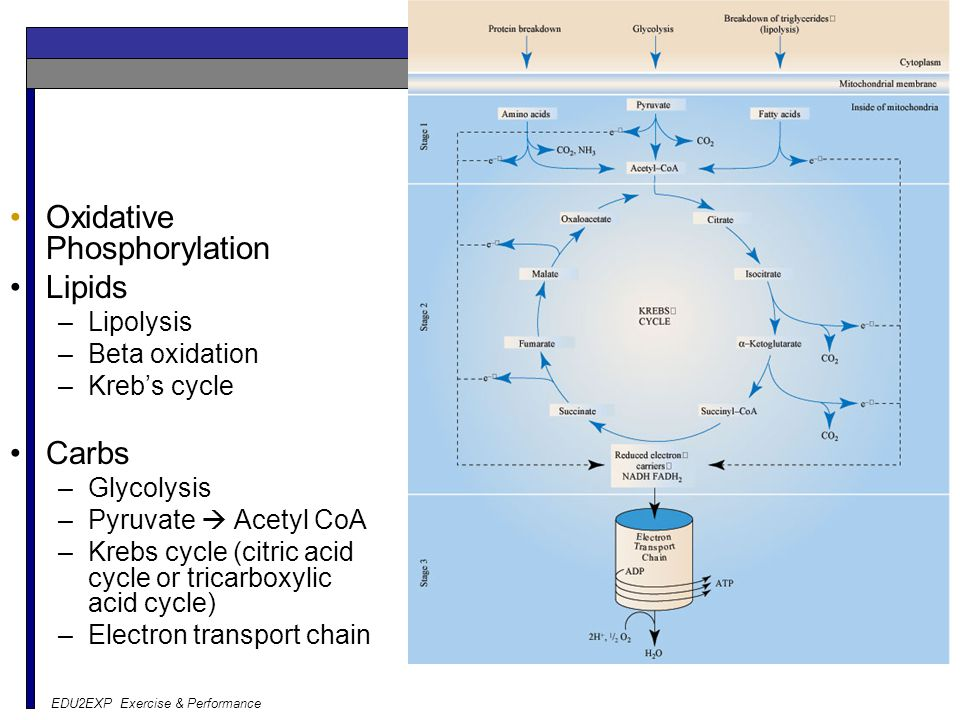 EDU2EXP Exercise & Performance Aerobic Oxidative Phosphorylation Lipids –Lipolysis –Beta oxidation –Kreb's cycle Carbs –Glycolysis –Pyruvate  Acetyl