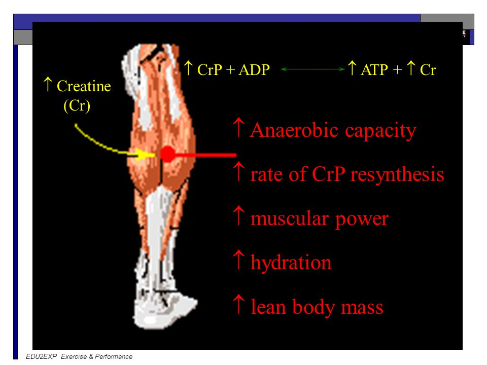 EDU2EXP Exercise & Performance  Creatine (Cr)  CrP + ADP  ATP +  Cr  Anaerobic capacity  rate of CrP resynthesis  muscular power  hydration  lean body mass