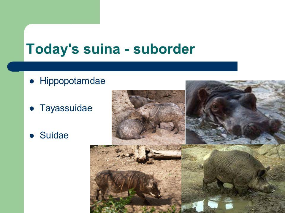 Today s suina - suborder Hippopotamdae Tayassuidae Suidae