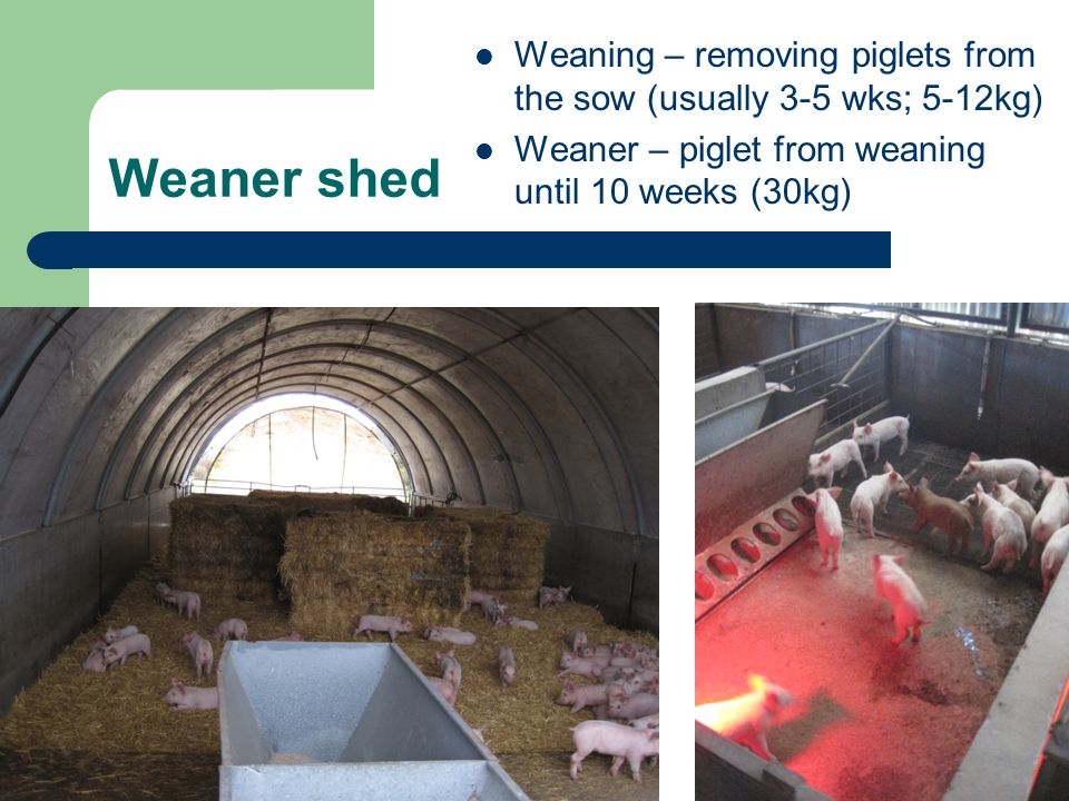 Weaner shed Weaning – removing piglets from the sow (usually 3-5 wks; 5-12kg) Weaner – piglet from weaning until 10 weeks (30kg)