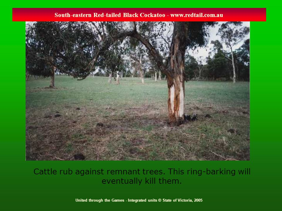 United through the Games - Integrated units © State of Victoria, 2005 Cattle rub against remnant trees. This ring-barking will eventually kill them. S