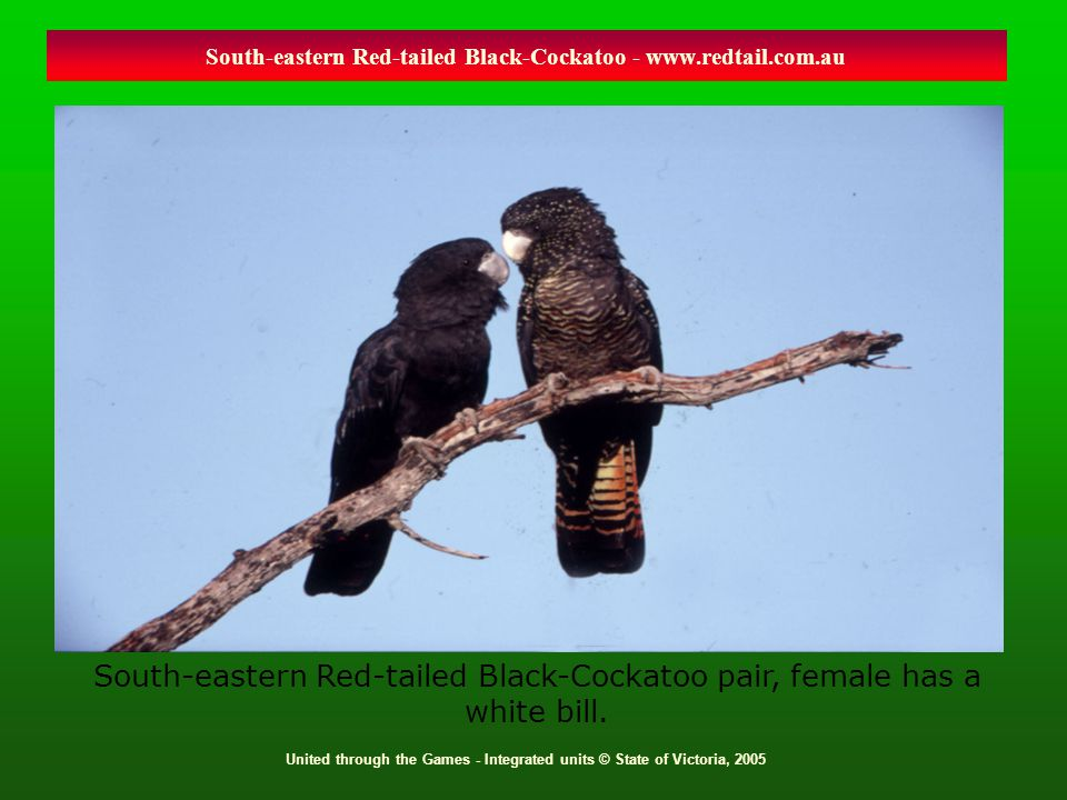 United through the Games - Integrated units © State of Victoria, 2005 South-eastern Red-tailed Black-Cockatoo - www.redtail.com.au South-eastern Red-t