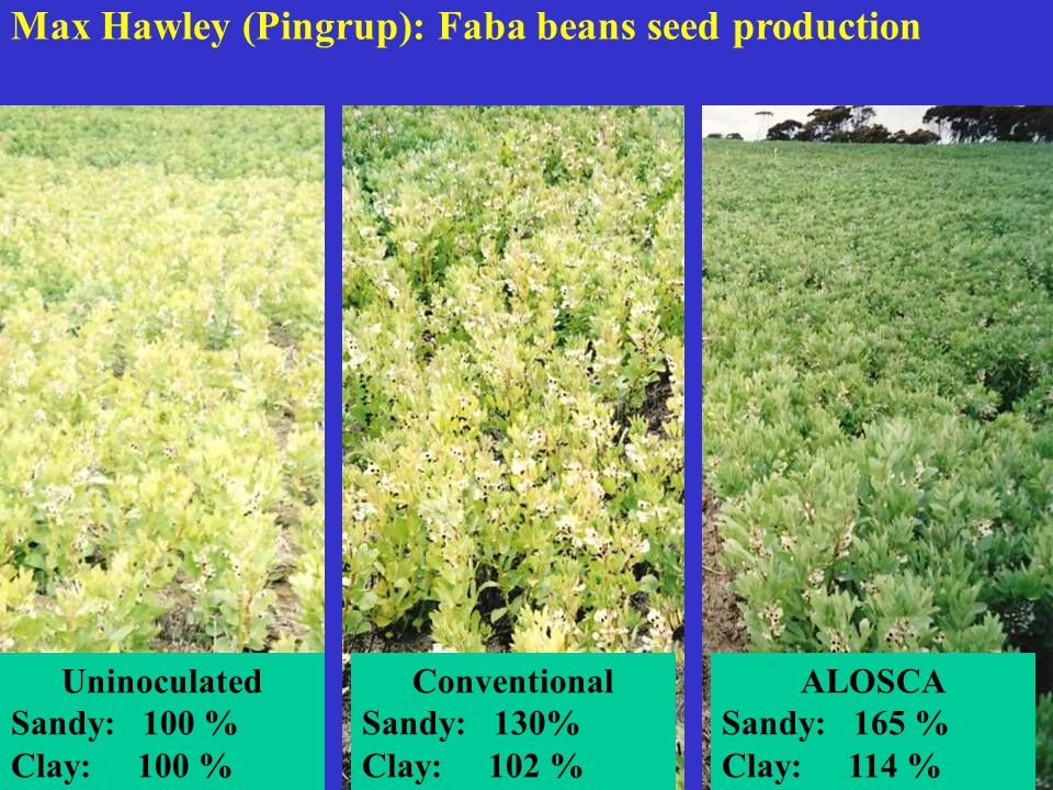 Max Hawley (Pingrup): Faba beans seed production ALOSCA Sandy: 165 % Clay: 114 % Conventional Sandy: 130% Clay: 102 % Uninoculated Sandy: 100 % Clay: