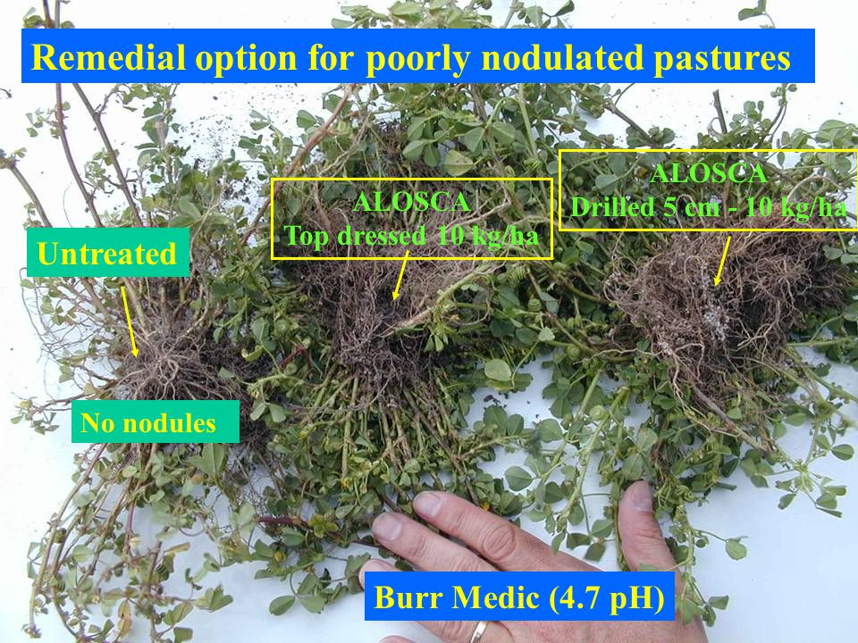 Burr Medic (4.7 pH) Untreated No nodules ALOSCA Top dressed 10 kg/ha ALOSCA Drilled 5 cm - 10 kg/ha Remedial option for poorly nodulated pastures