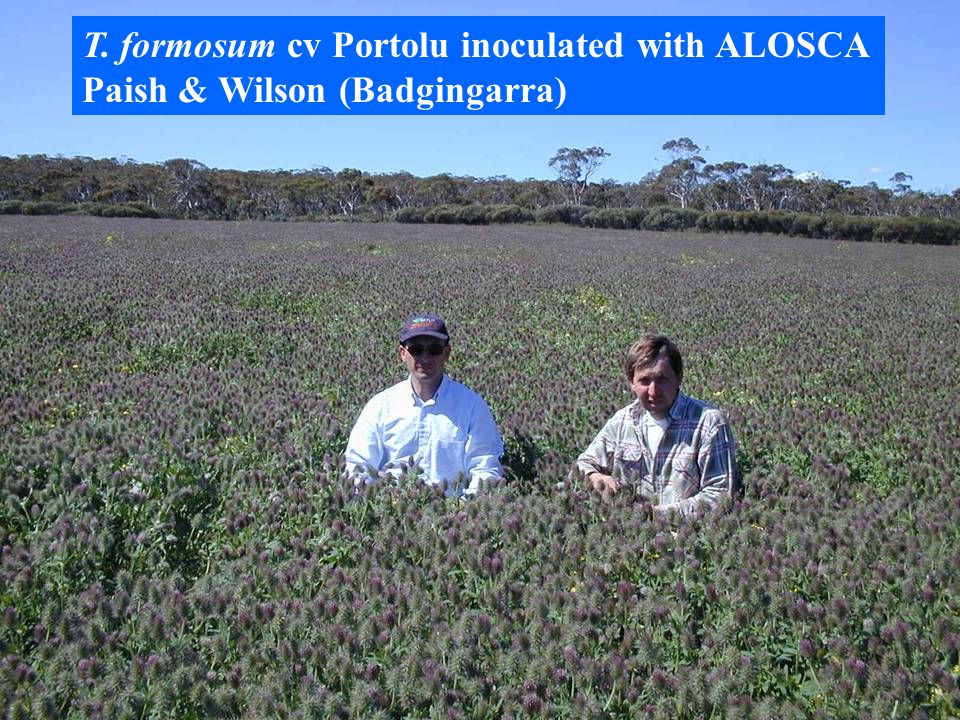 Up to 6 t DM 1 t of seed T. formosum cv Portolu inoculated with ALOSCA Paish & Wilson (Badgingarra)