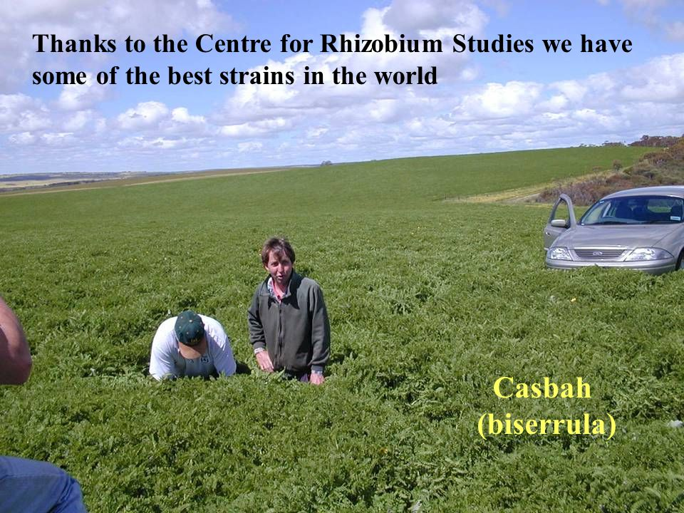 Casbah (biserrula) Thanks to the Centre for Rhizobium Studies we have some of the best strains in the world