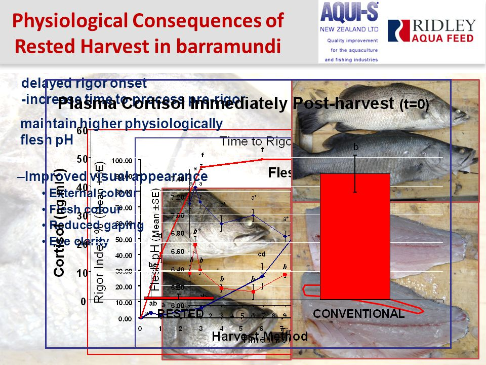 Physiological Consequences of Rested Harvest in barramundi delayed rigor onset -increase time to process pre-rigor maintain higher physiologically flesh pH –Improved visual appearance External colour Flesh colour Reduced gaping Eye clarity