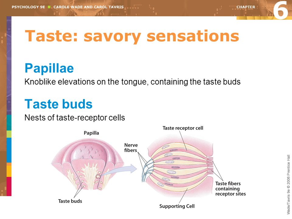 Taste: savory sensations Papillae Knoblike elevations on the tongue, containing the taste buds Taste buds Nests of taste-receptor cells 6