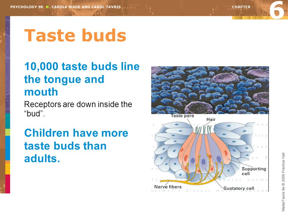 Taste buds 6 10,000 taste buds line the tongue and mouth Receptors are down inside the bud .