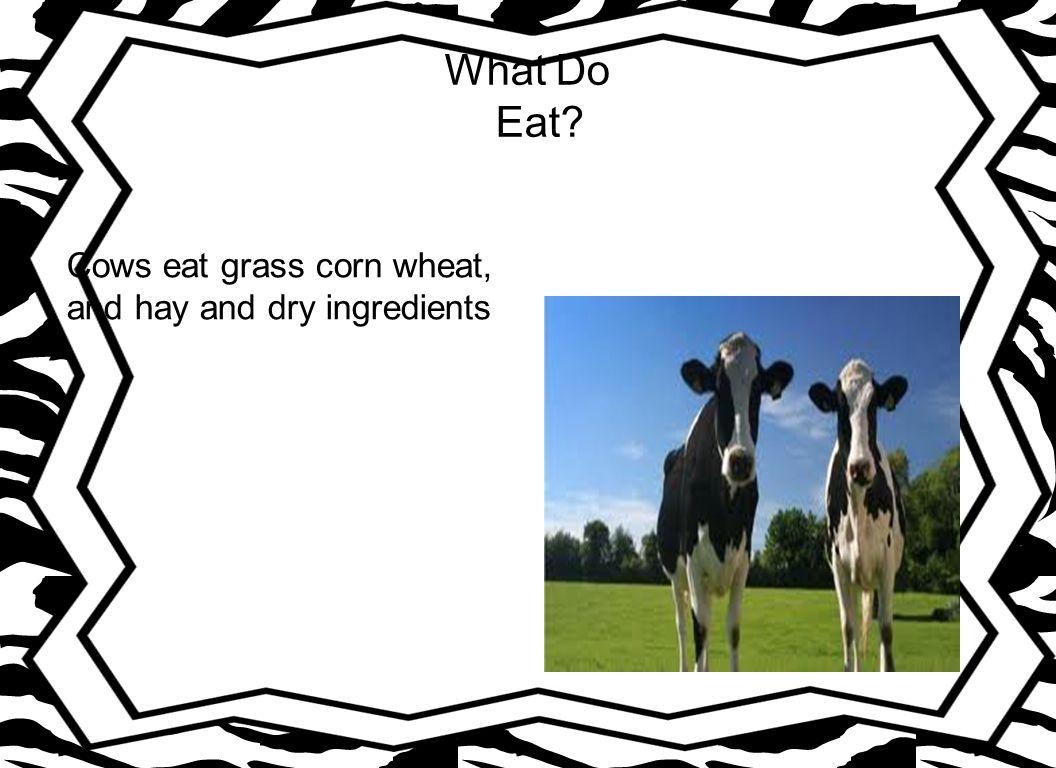 Do cows Have Predators.