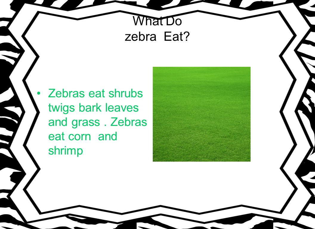 What Do zebra Eat Zebras eat shrubs twigs bark leaves and grass. Zebras eat corn and shrimp