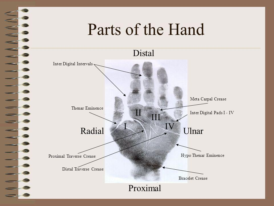 Parts of the Hand Proximal Distal UlnarRadial Bracelet Crease Proximal Traverse Crease Thenar Eminence I II III IV Inter Digital Pads I - IV Hypo Then