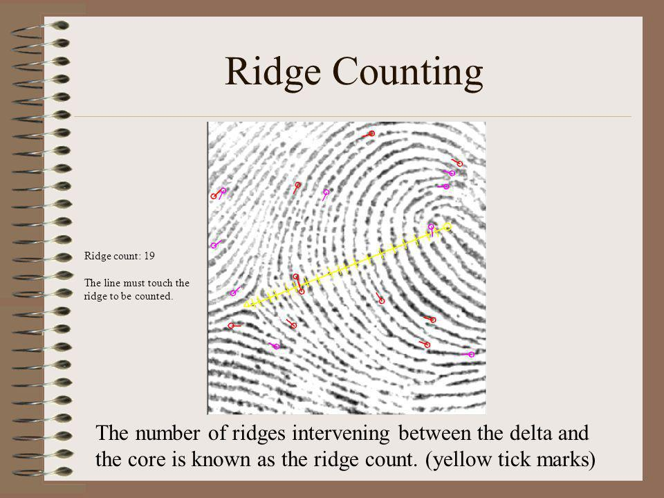 Ridge Counting The number of ridges intervening between the delta and the core is known as the ridge count. (yellow tick marks) Ridge count: 19 The li