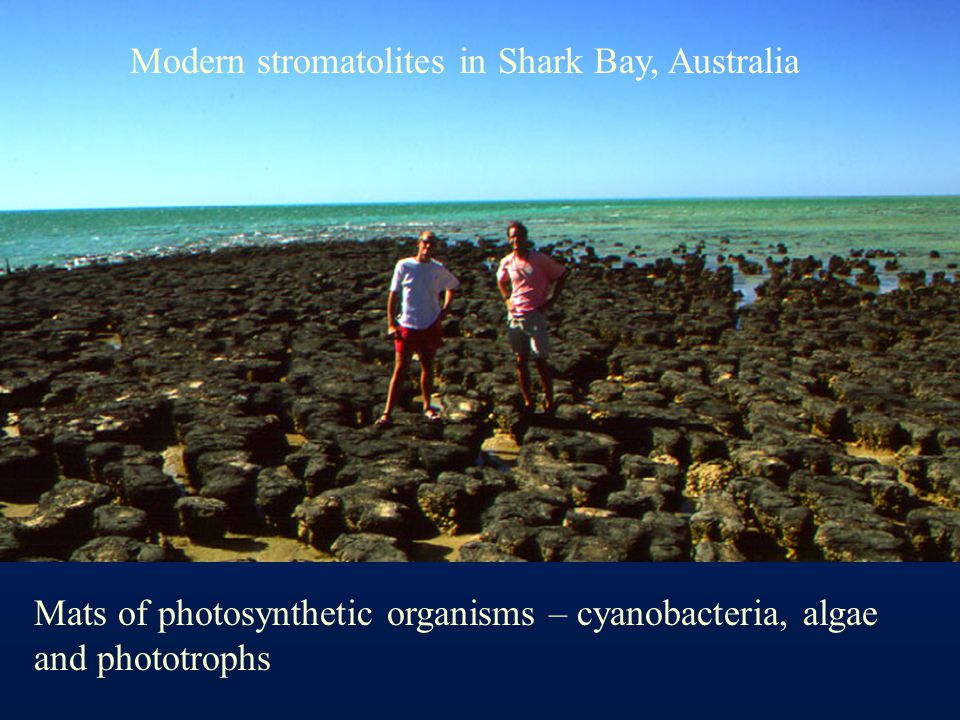 Modern stromatolites in Shark Bay, Australia Mats of photosynthetic organisms – cyanobacteria, algae and phototrophs
