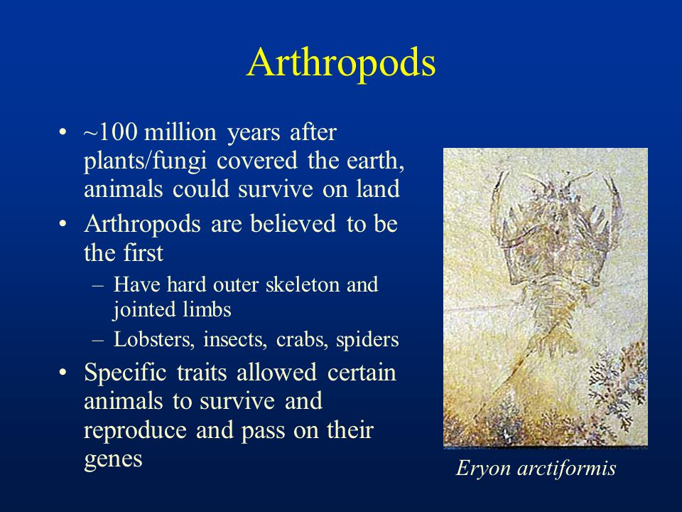 Arthropods ~100 million years after plants/fungi covered the earth, animals could survive on land Arthropods are believed to be the first –Have hard o