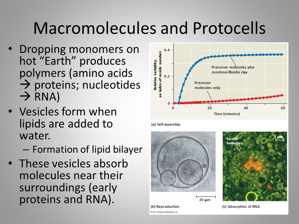 """Macromolecules and Protocells Dropping monomers on hot """"Earth"""" produces polymers (amino acids  proteins; nucleotides  RNA) Vesicles form when lipids"""
