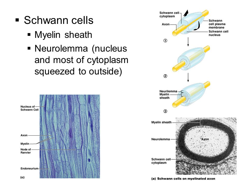  Schwann cells  Myelin sheath  Neurolemma (nucleus and most of cytoplasm squeezed to outside)