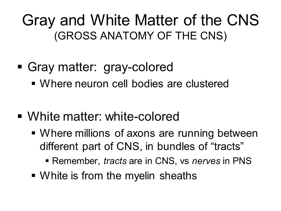 Gray and White Matter of the CNS (GROSS ANATOMY OF THE CNS)  Gray matter: gray-colored  Where neuron cell bodies are clustered  White matter: white