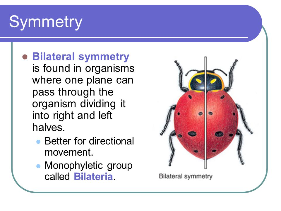 Symmetry Bilateral symmetry is found in organisms where one plane can pass through the organism dividing it into right and left halves.