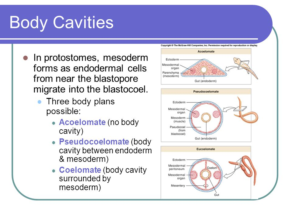 Body Cavities In protostomes, mesoderm forms as endodermal cells from near the blastopore migrate into the blastocoel.