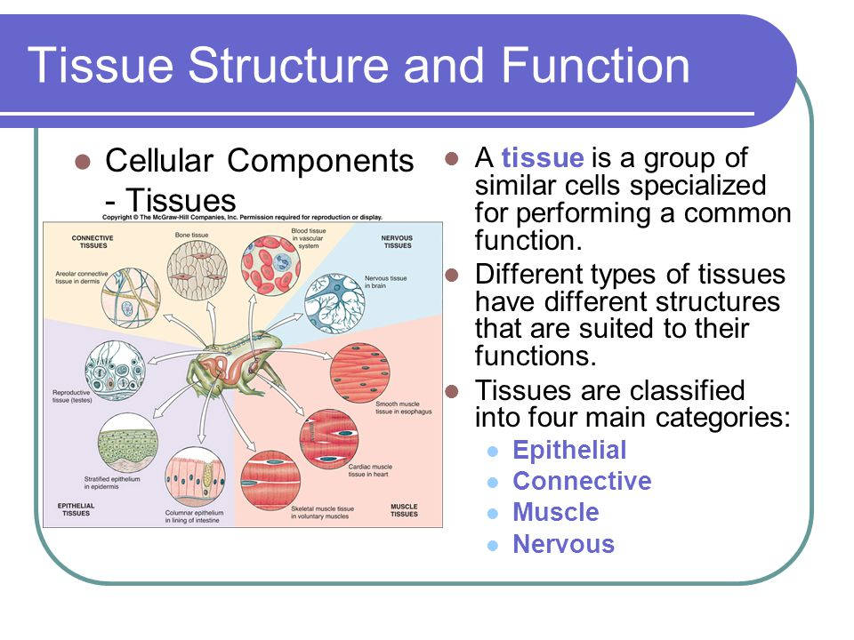 Tissue Structure and Function A tissue is a group of similar cells specialized for performing a common function.