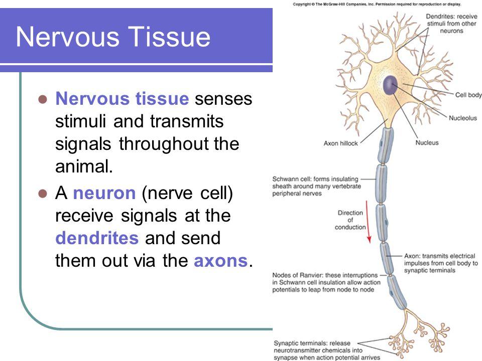 Nervous Tissue Nervous tissue senses stimuli and transmits signals throughout the animal.
