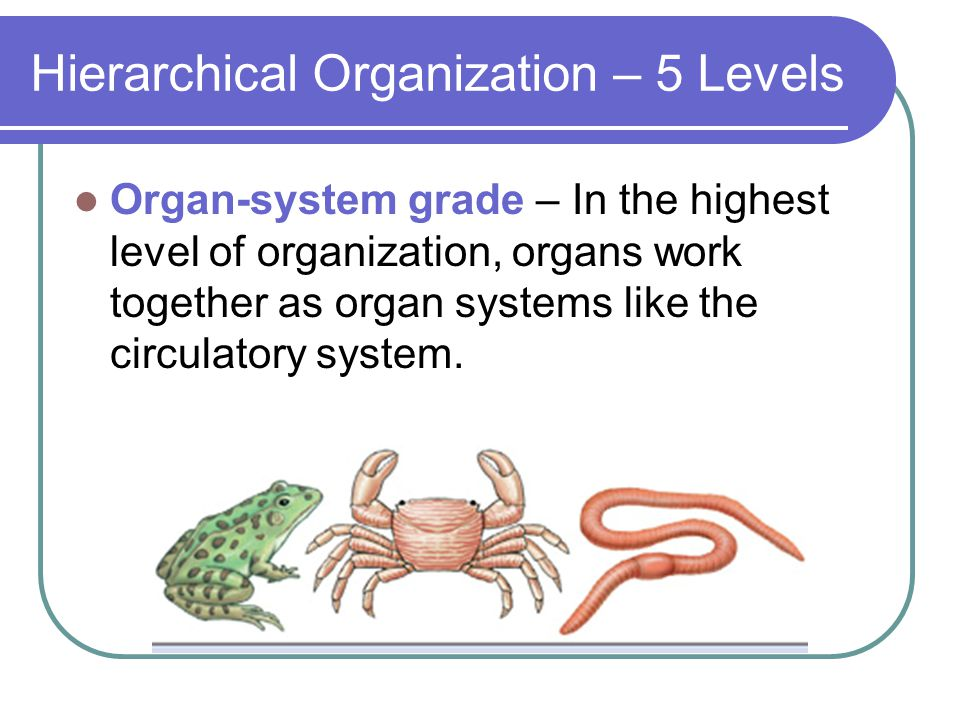 Hierarchical Organization – 5 Levels Organ-system grade – In the highest level of organization, organs work together as organ systems like the circulatory system.