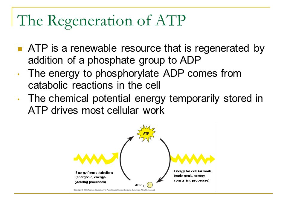 The Regeneration of ATP ATP is a renewable resource that is regenerated by addition of a phosphate group to ADP The energy to phosphorylate ADP comes