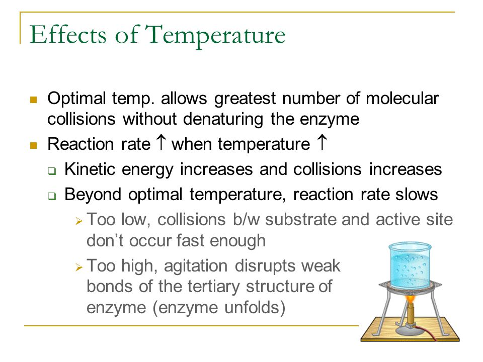 Effects of Temperature Optimal temp. allows greatest number of molecular collisions without denaturing the enzyme Reaction rate  when temperature  