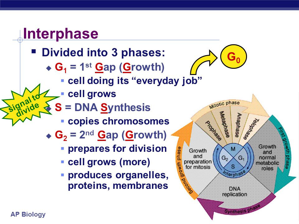 """AP Biology Cell cycle  Cell has a """"life cycle"""" cell is formed from a mitotic division cell grows & matures to divide again cell grows & matures to ne"""