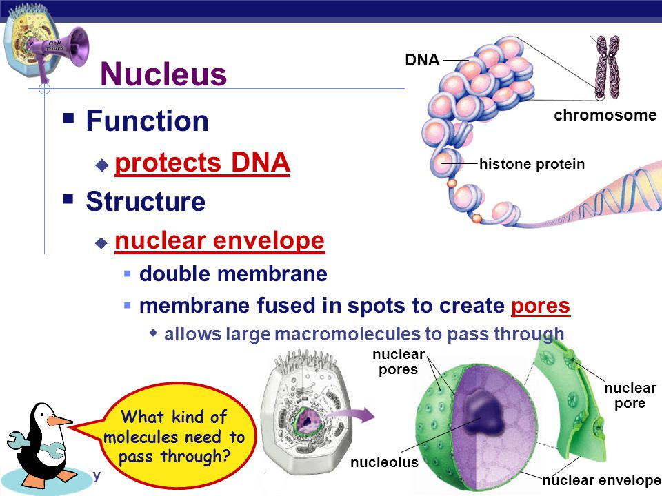 AP Biology nuclear pores nuclear pore nuclear envelope nucleolus histone protein chromosome DNA  Function  protects DNA  Structure  nuclear envelope  double membrane  membrane fused in spots to create pores  allows large macromolecules to pass through Nucleus What kind of molecules need to pass through?
