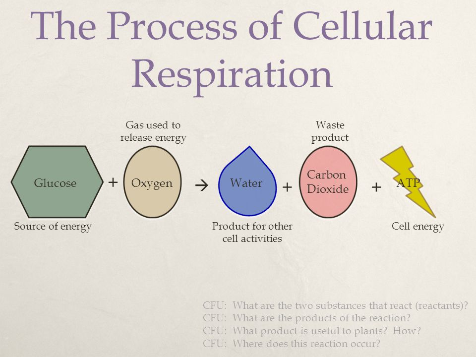 The Process of Cellular Respiration + GlucoseOxygen  Water + Carbon Dioxide + ATP Source of energy Gas used to release energy Waste product Cell ener