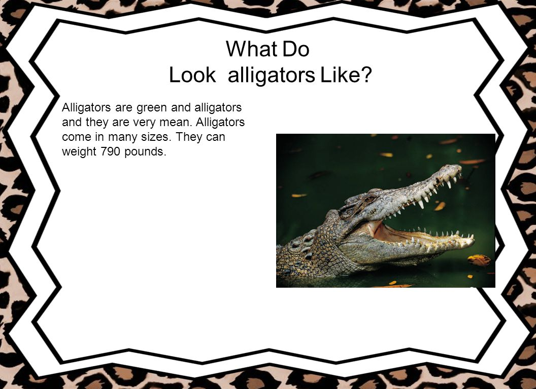 What Do Look alligators Like? Alligators are green and alligators and they are very mean. Alligators come in many sizes. They can weight 790 pounds.