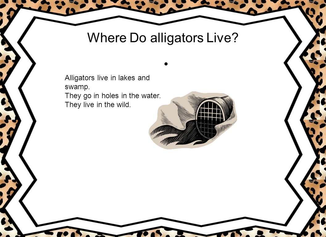 Where Do alligators Live? Alligators live in lakes and swamp. They go in holes in the water. They live in the wild.