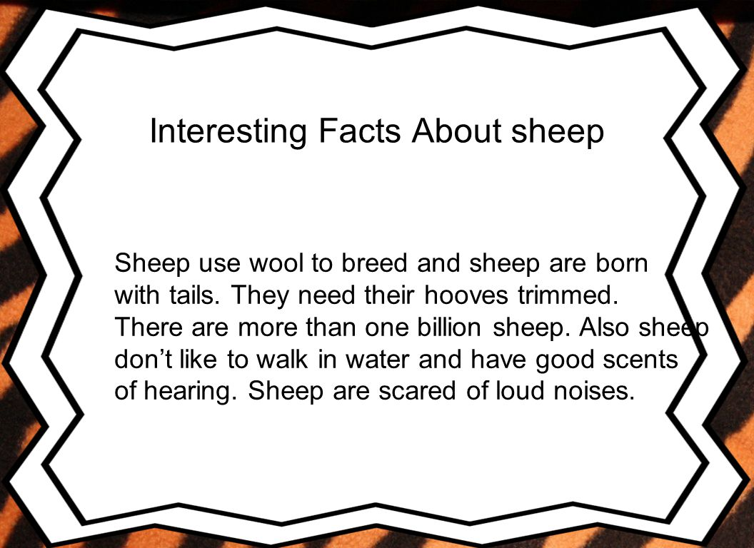 Conclusion I liked my animal because it is interesting learning about sheep predators and what sheep looks like.