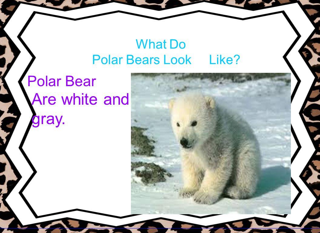 What Do Polar Bears Look Like? Polar Bear Are white and gray.