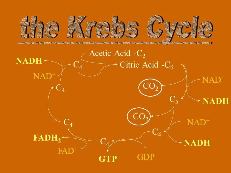 Citric Acid -C 6 CO 2 C5C5 C4C4 C4C4 Changes its structure C4C4 C4C4 C4C4 Acetic Acid -C 2 Changes its structure