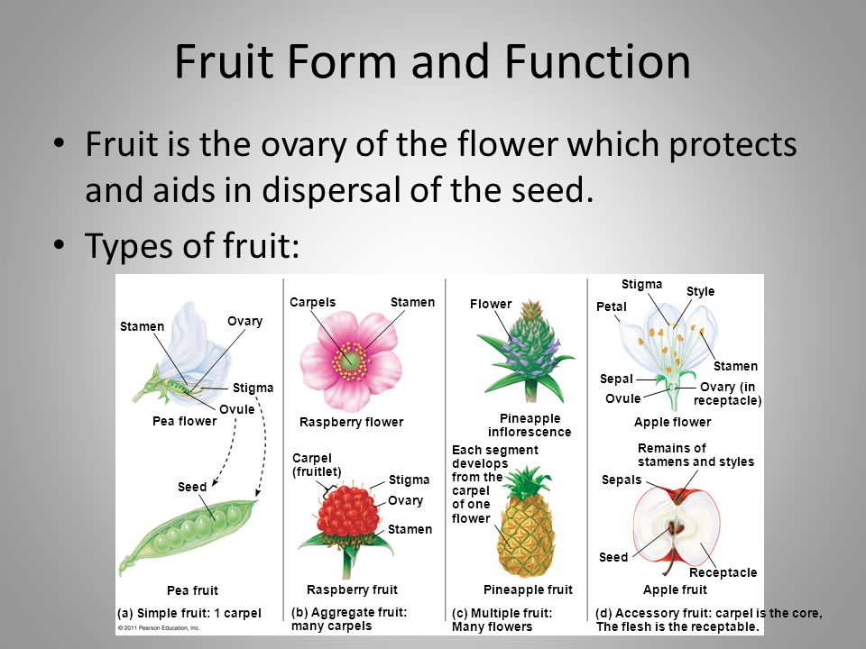 Fruit Form and Function Fruit is the ovary of the flower which protects and aids in dispersal of the seed. Types of fruit: Stamen Ovary Stigma Ovule P