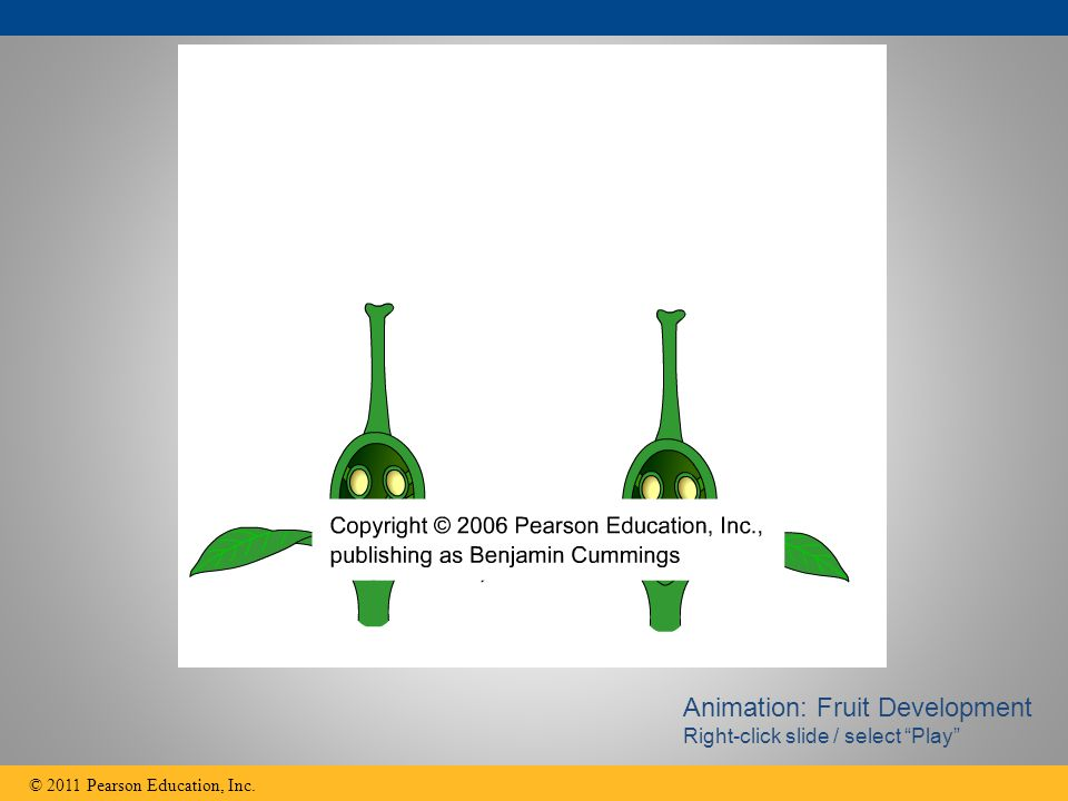 """© 2011 Pearson Education, Inc. Animation: Fruit Development Right-click slide / select """"Play"""""""