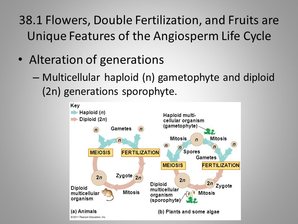 38.1 Flowers, Double Fertilization, and Fruits are Unique Features of the Angiosperm Life Cycle Alteration of generations – Multicellular haploid (n)