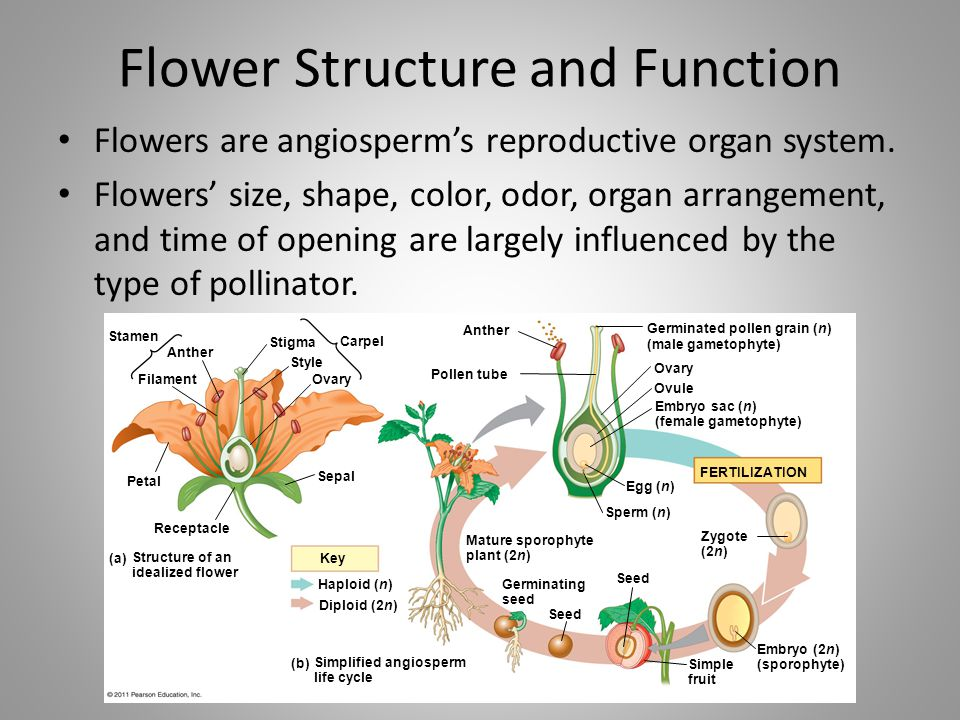 Flower Structure and Function Flowers are angiosperm's reproductive organ system. Flowers' size, shape, color, odor, organ arrangement, and time of op
