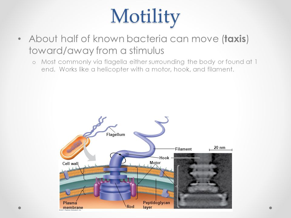 Motility About half of known bacteria can move ( taxis ) toward/away from a stimulus o Most commonly via flagella either surrounding the body or found