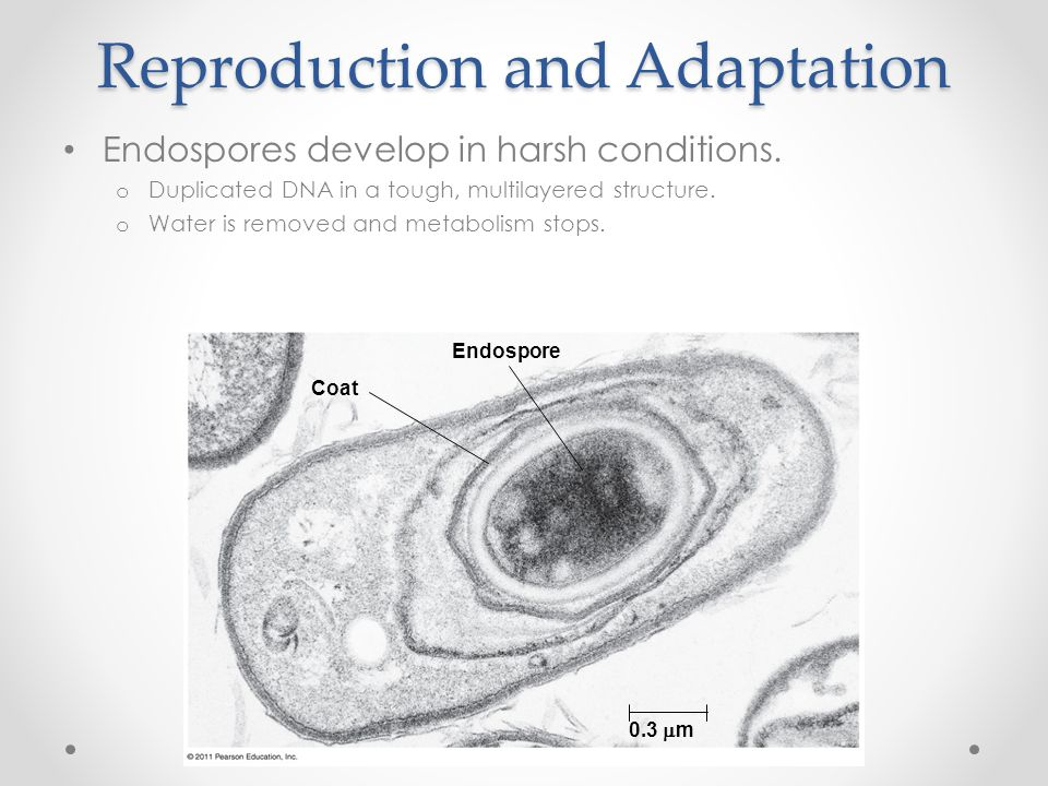Reproduction and Adaptation Endospores develop in harsh conditions. o Duplicated DNA in a tough, multilayered structure. o Water is removed and metabo