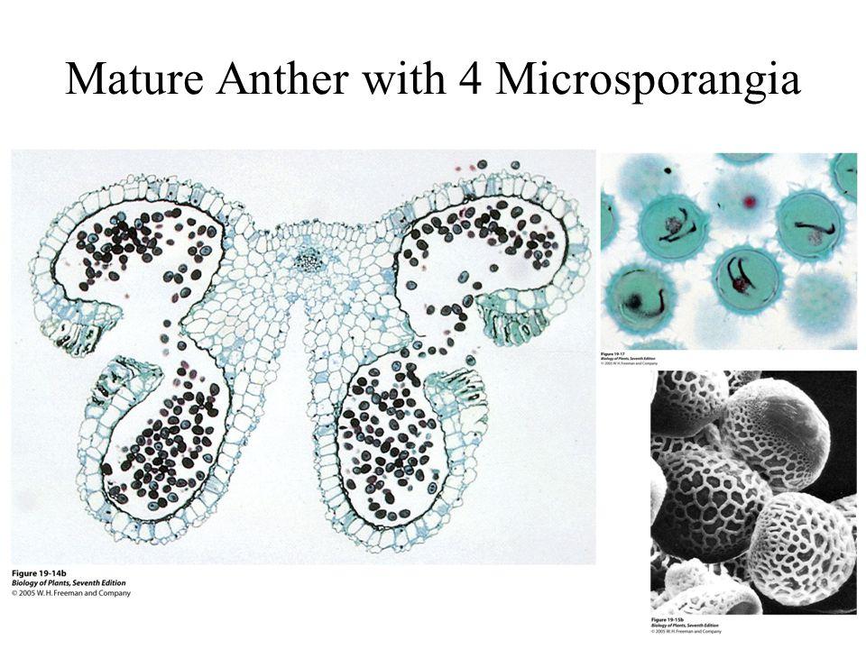 Mature Anther with 4 Microsporangia