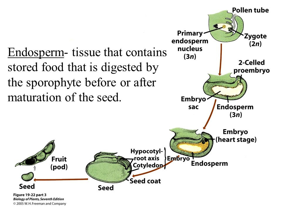 Endosperm- tissue that contains stored food that is digested by the sporophyte before or after maturation of the seed.