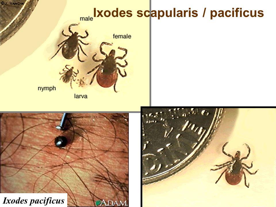 Ixodes pacificus Ixodes scapularis / pacificus