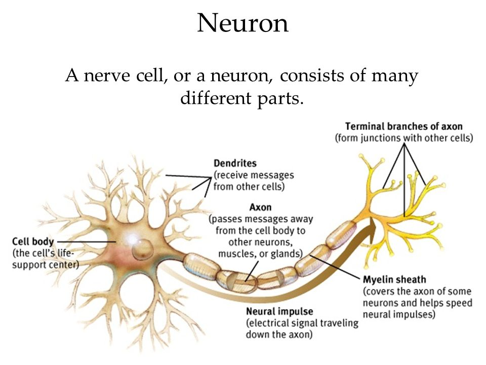 Neuron A nerve cell, or a neuron, consists of many different parts.