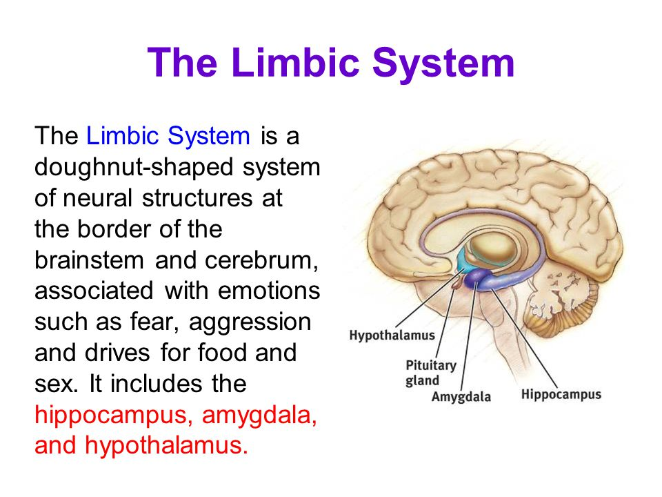 The Limbic System is a doughnut-shaped system of neural structures at the border of the brainstem and cerebrum, associated with emotions such as fear,