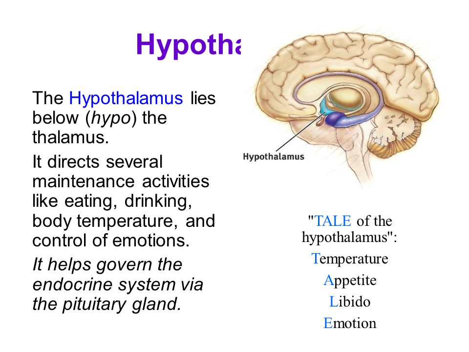 Hypothalamus The Hypothalamus lies below (hypo) the thalamus. It directs several maintenance activities like eating, drinking, body temperature, and c