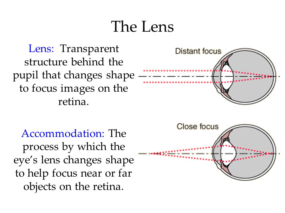 The Lens Lens: Transparent structure behind the pupil that changes shape to focus images on the retina. Accommodation: The process by which the eye's